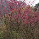 櫻花綻放中